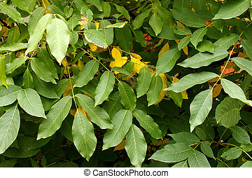 Walnut tree leaves - Closeup walnut tree leaves in early...