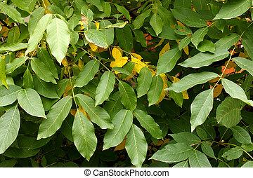 Walnut tree leaves - Closeup walnut tree leaves in early...