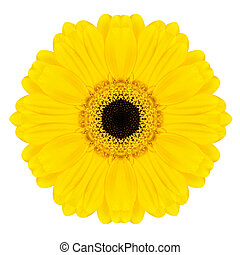 Yellow Concentric Gerbera Flower Isolated on White. Mandala...