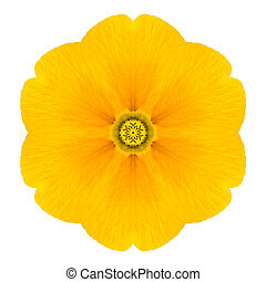Yellow Concentric Primrose Flower Isolated on White. Mandala...