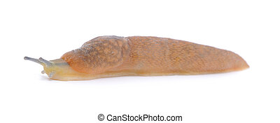 Slug - the slowest animal. It creeps on white background.