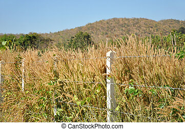 Fountain grasses and weeds inside the barb wire fence -...