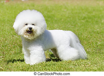 Bichon Frise dog - A small beautiful and adorable white...