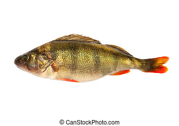 Perch - European perch - isolated on a white background