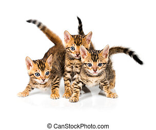 Three Bengal kitten on white background - Three Bengal...