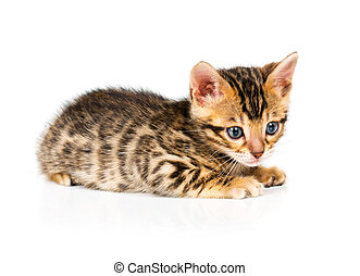 Bengal kitten on white background - Bengal kitten with...