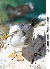 The Yellow-legged Gull (Larus michahellis), in Natural Park...