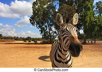 Close-up shot of zebra. - Close-up shot of zebra looking...