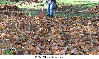 gardener rake autumn leaf - gardener rake dry autumn maple...