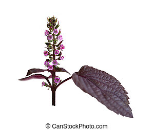 Perilla frutescens mint - Perilla frutescens flower isolated...