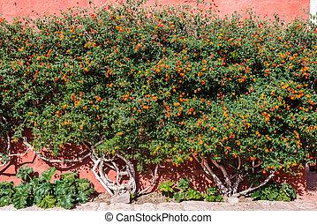lantana, arbusto, dentro, santa, Catalina, monasterio,...