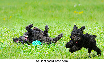 Happy pups. - Adorable miniature poodle, and cute toy poodle...