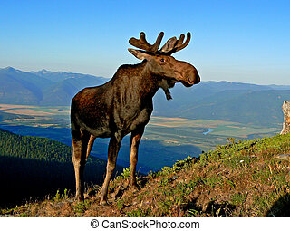 moose surveys domain - bull moose on mountain overlooking...