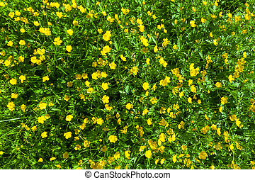 Ranunculus acris (Meadow buttercup, Tall buttercup) with her...