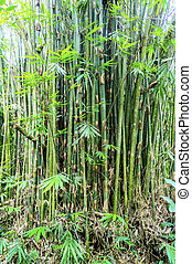 bamboo plant at tropical forest