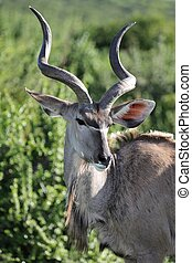 Coy Kudu - Kudu antelope with a coy look and long horns