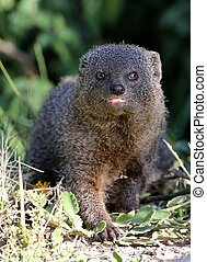 Grey Mongoose - Cute Grey Mongoose hunting in the African...