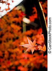 vivid orange maple leaves in Japan