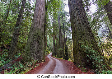 Giant Coastal Redwoods at Jediah Smith State Park in...
