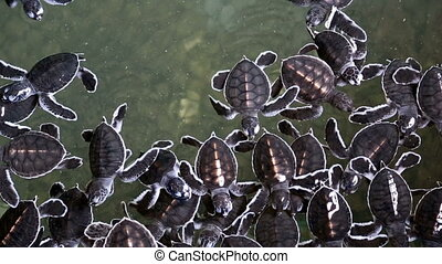 Baby Sea turtles - A group of baby sea turtles swimming in a...