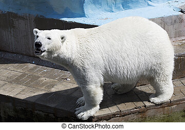 Beautiful polar bear at the zoo.
