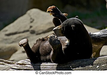 Malayan Bear - Malayan Sun Bear on Logs Mammals Photo...