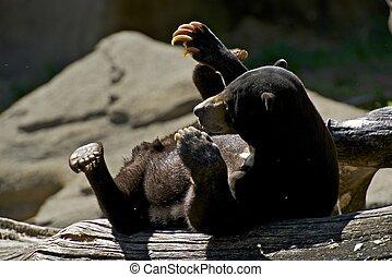 Malayan Bear - Malayan Sun Bear on Logs. Mammals Photo...