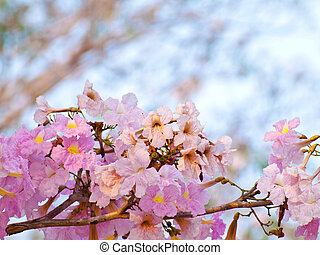 Pink sweet dream feeling - Pink trumpet tree flower blooming...