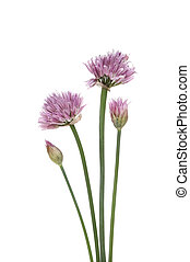 Flowering chives - Chive, Allium schoenoprasum, flowers and...