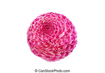 Pom pom dahlia - Pom-pom dahlia flower isolated against...