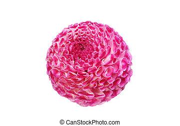 Pom pom dahlia - Pom-pom dahlia flower isolated against...