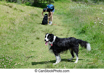 Border Collie dogs - TAIPA, NZ - NOV 05:Border Collie dog...