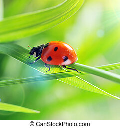 Ladybug on grass sunny day - Ladybug running along on blade...