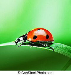 Ladybug on grass - Red ladybird with seven black dots...