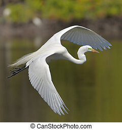 Great Egret - turns for landing