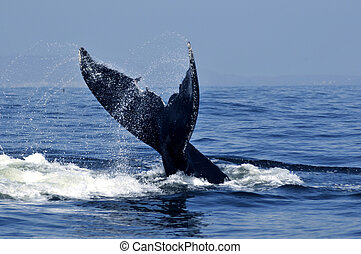 Humpback tail - Humpback whale tail in the tropical waters...