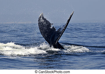 Humpback tail 2 - Humpback whale tail in the tropical waters...
