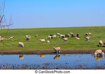 sheep, 農場, 草, 動物