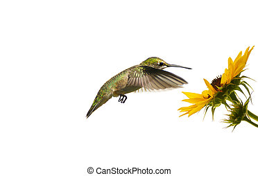 Hummingbird at flower, isolated.