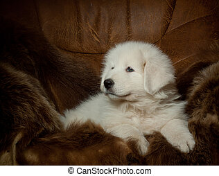 puppy of maremma