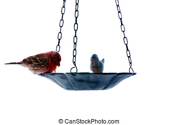 Red house finch feeding - Single house finch at a bird...