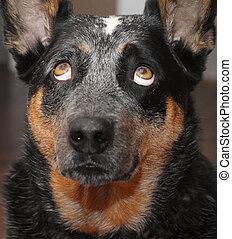 Dog looking straight up macro - Blue heeler dog looking...