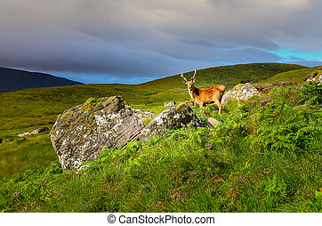 Young deer in the meadow at Scottish highlands, Scotland,...