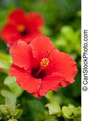 Hibisco, bermudas, flor, vermelho