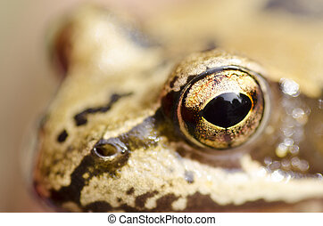 Rana temporaria head with focus on the eye, common frog