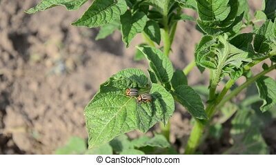 potato beetles plant - two striped colorado beetles sit on...