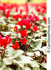Red cyclamen flowers