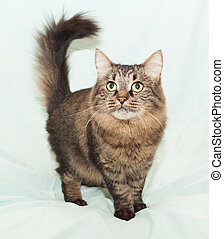 Fluffy Siberian cat worth inquiring arching tail, on pale...