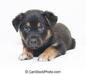 Small black puppy with brown spots looks frightened, on...