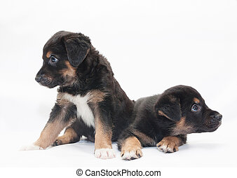 Two little black puppy with brown spots look in different...